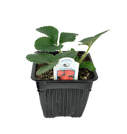 Strawberry 'Shuksan' - 4 inch