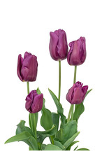 Tulip Purple 6 inch
