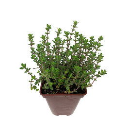 Thymus c. 'English Wedgewood' - 4 Inch