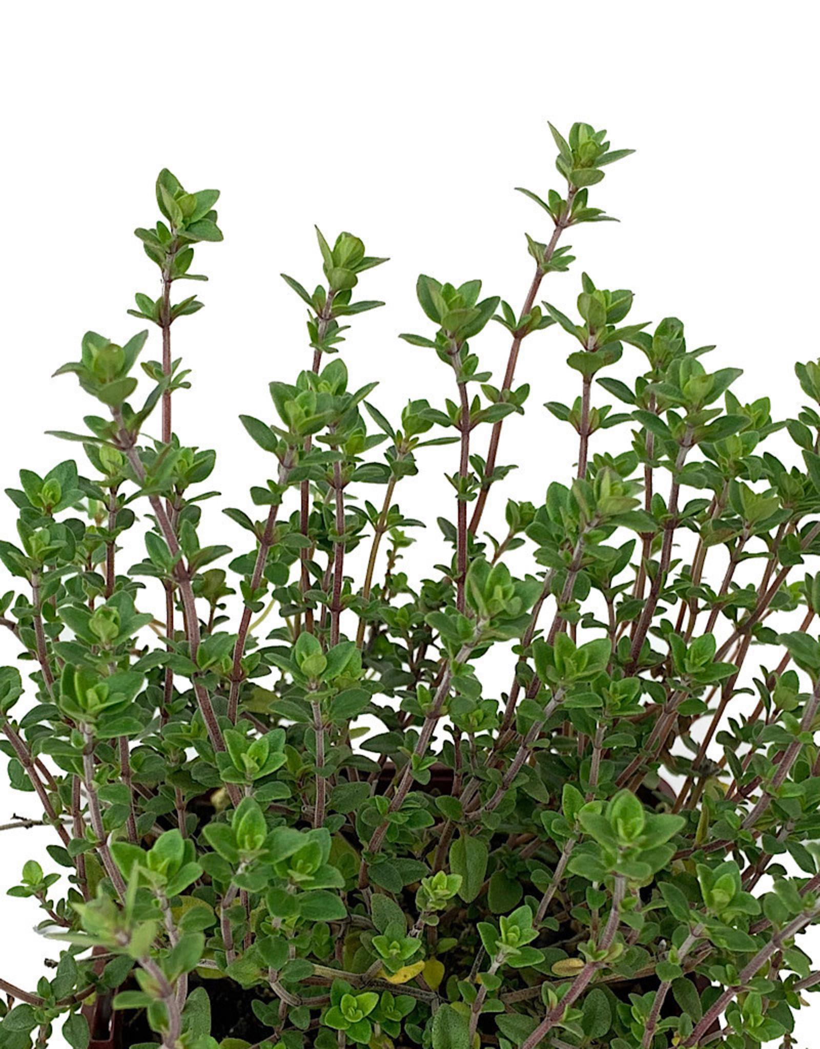 Thymus c. 'English Wedgewood' - 4 Inch