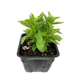 Stevia - 4 inch