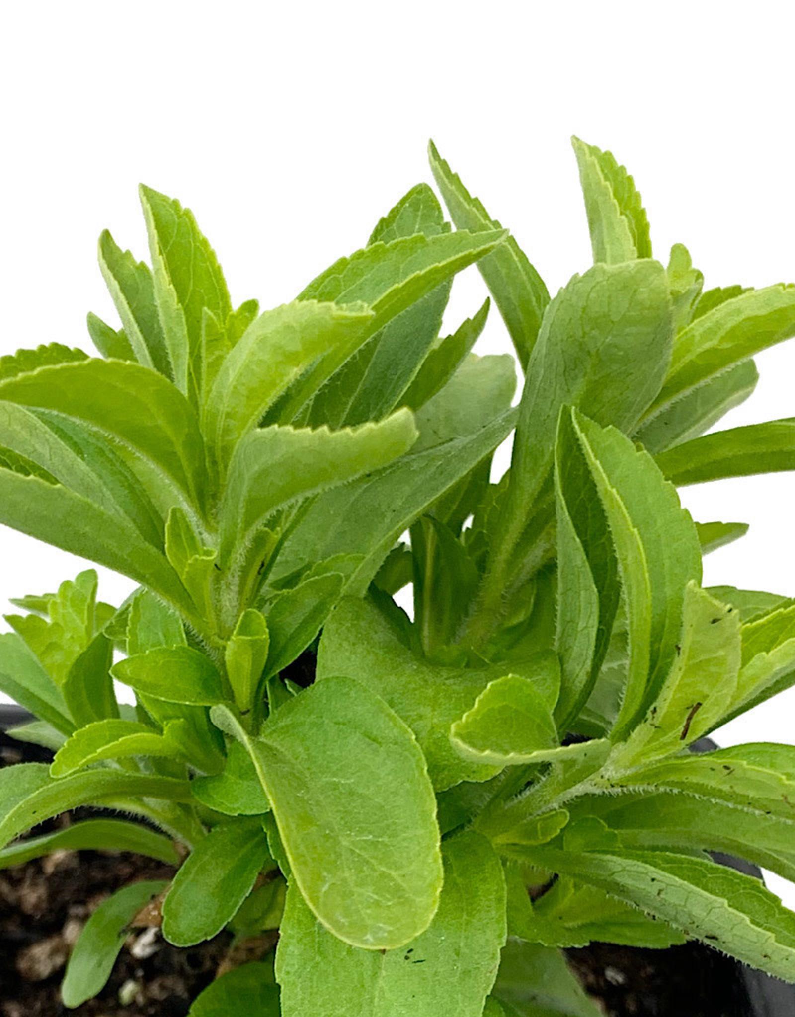 Stevia 4 Inch