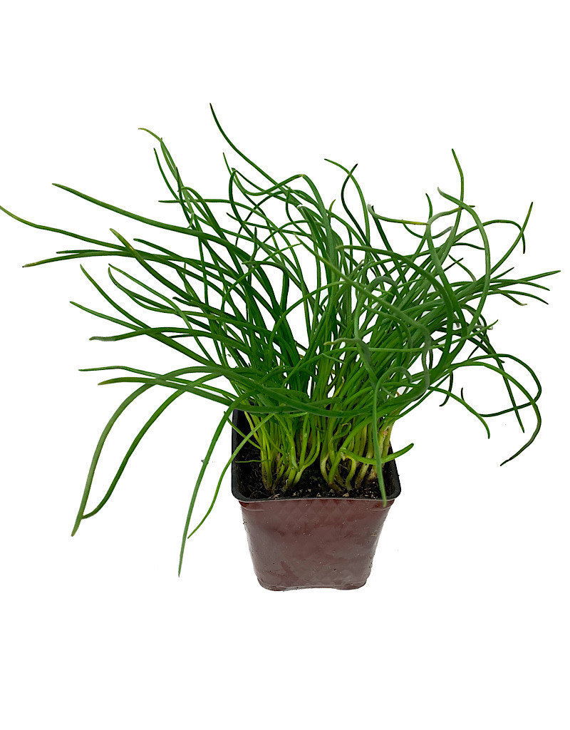 Chives 'Curly' - 4 inch