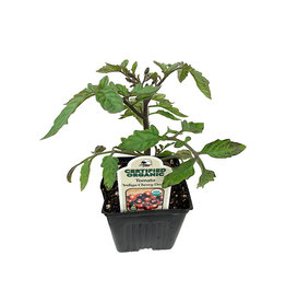 Tomato 'Indigo Cherry Drop' - 4 inch