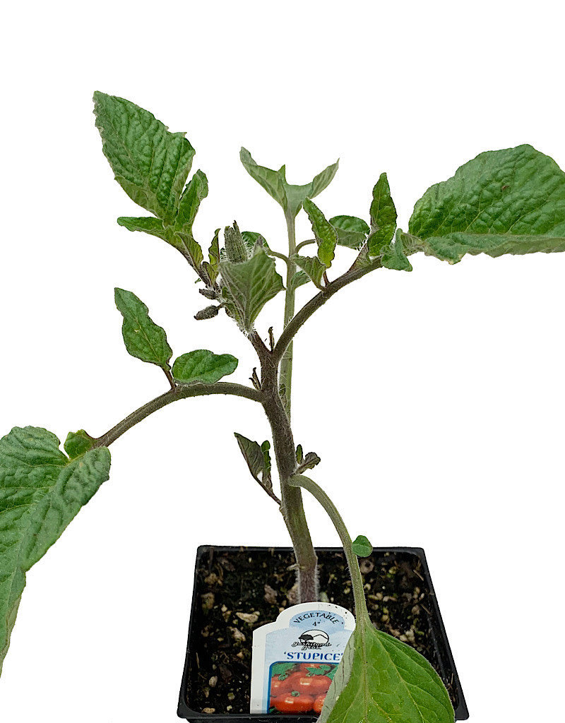 Tomato 'Stupice' - 4 inch