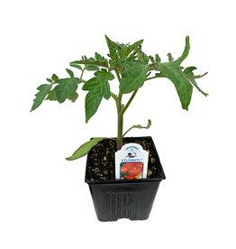 Tomato 'Celebrity' - 4 inch