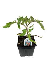 Tomato 'Willamette' 4 Inch