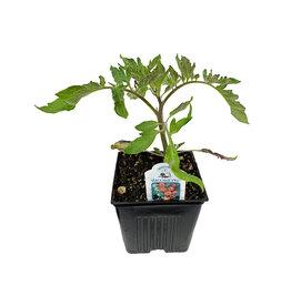 Tomato 'Willamette' - 4 inch