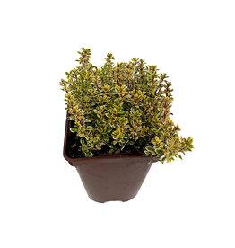 Thymus citriodorus 'Aureus' - 4 inch