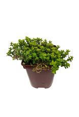 Thymus c. 'Lime' - 4 inch