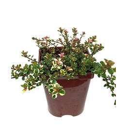 Thymus p. 'Foxley' - 4 inch