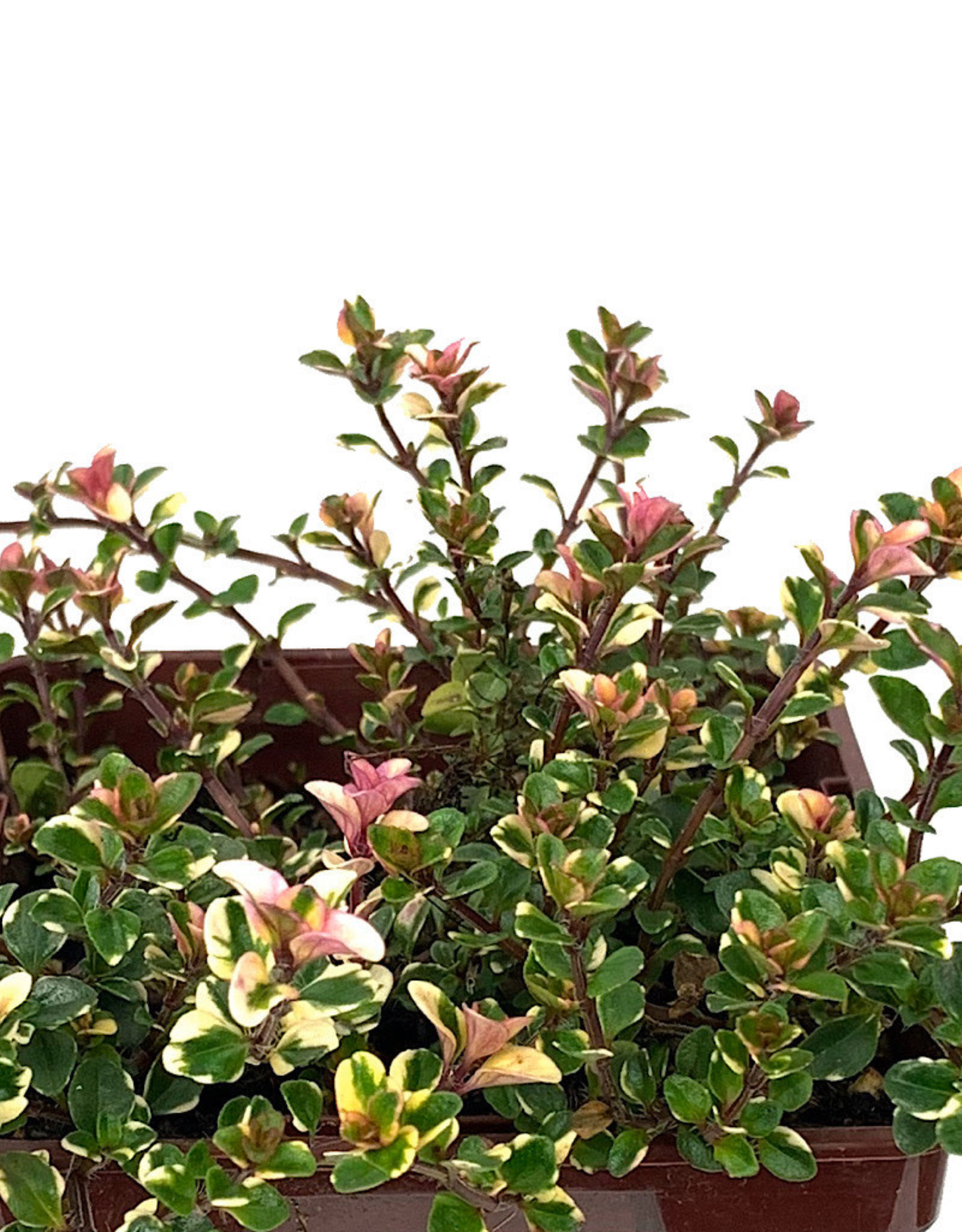 Thymus pulegioides 'Foxley' 4 inch