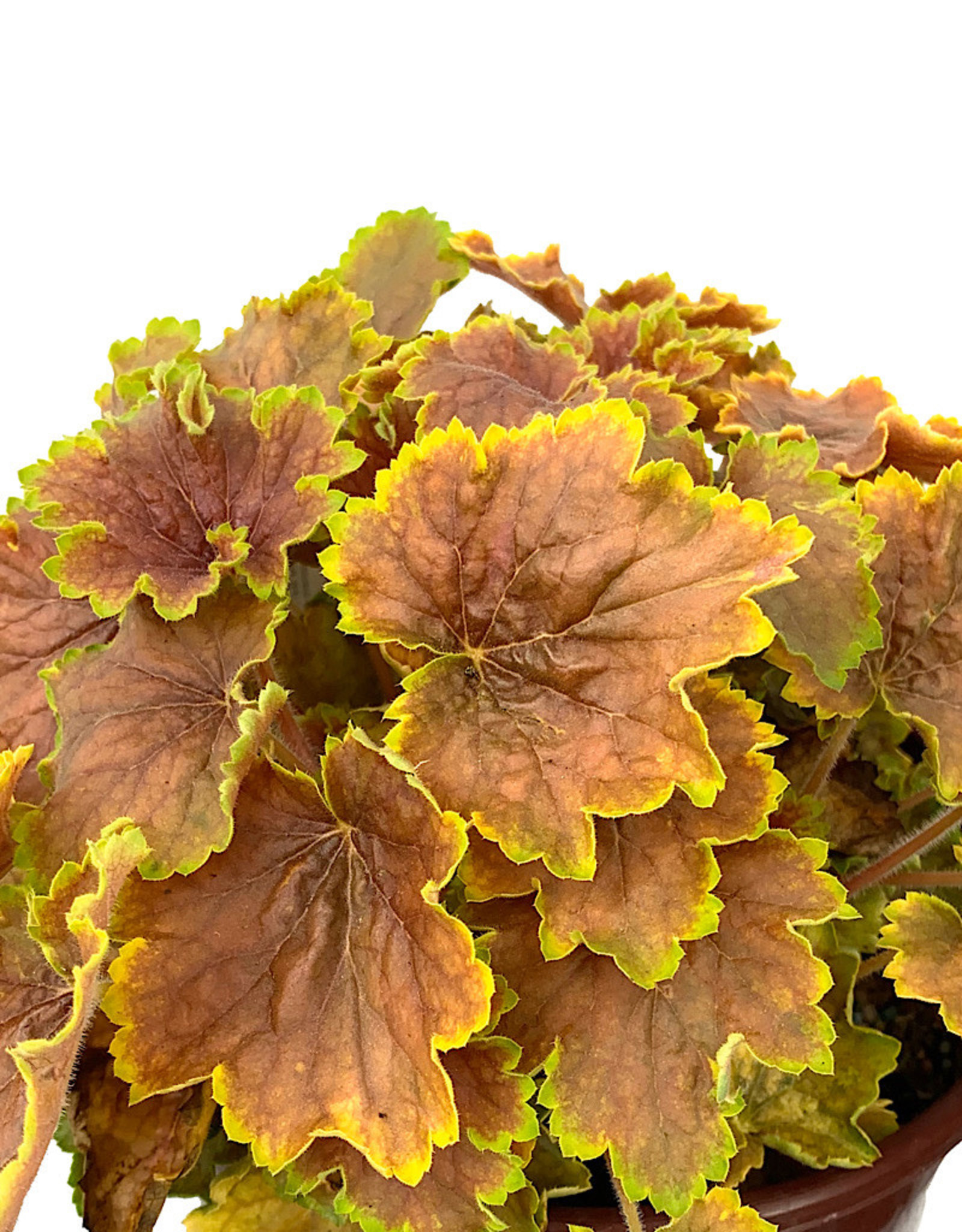 Heuchera 'Delta Dawn'