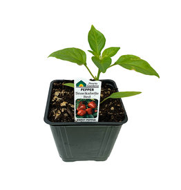 Pepper 'Snackabelle Red' - 4 inch