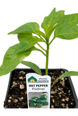 Pepper 'Padron' - 4 inch
