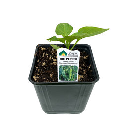 Pepper 'Spicy New Mexican' - 4 inch