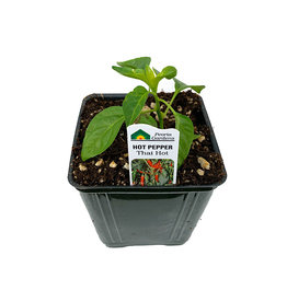 Pepper 'Thai Hot' - 4 inch