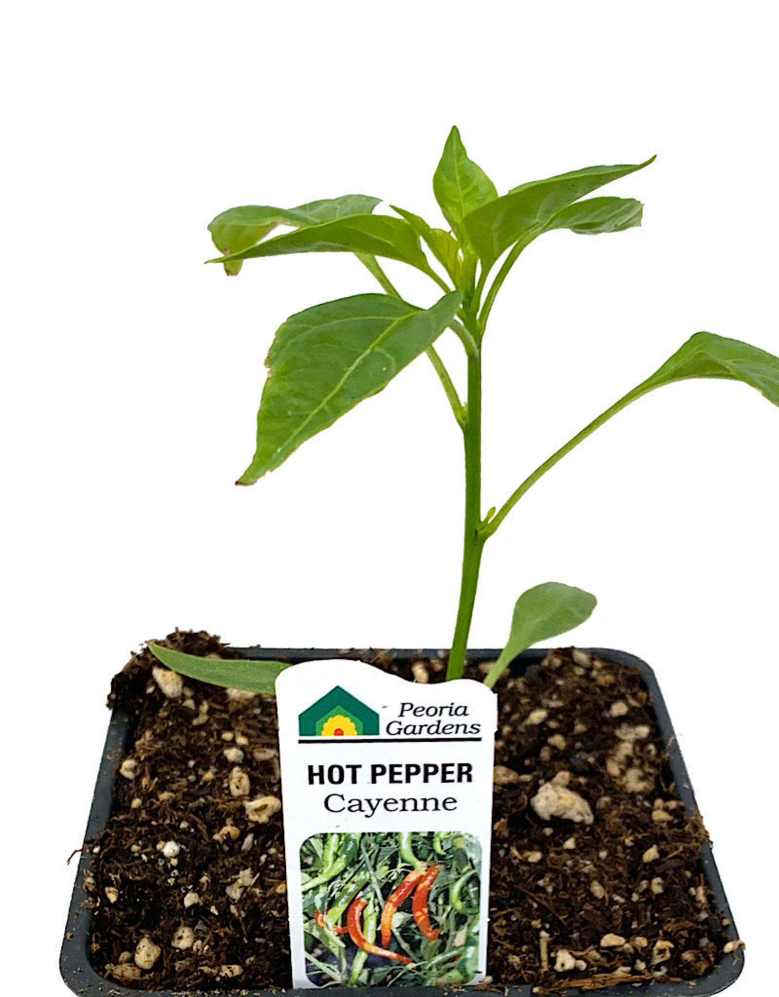 Pepper 'Cayenne' 4 Inch