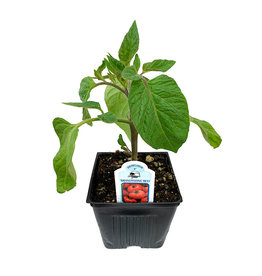 Tomato 'Brandywine Red' 4 Inch