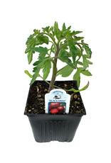 Tomato 'Black Krim' 4 Inch