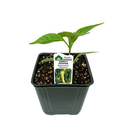 Pepper 'Banana Sweet - 4 inch