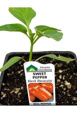 Pepper 'Red Beauty' 4 Inch