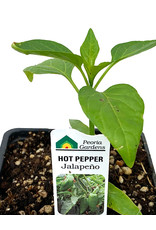 Pepper 'Jalapeno' 4 Inch