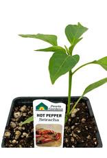 Pepper 'Sriracha' - 4 inch