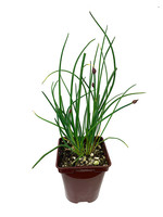 Chives 4 Inch