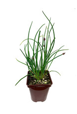 Chives - 4 inch