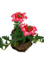Verbena 'Wicked Pink Pepper'- 4 inch