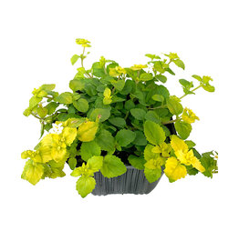 Bacopa 'Scopia Golden Leaves White' - 4 inch