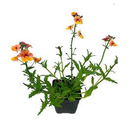 Nemesia 'Sunsatia Blood Orange' - 4 inch