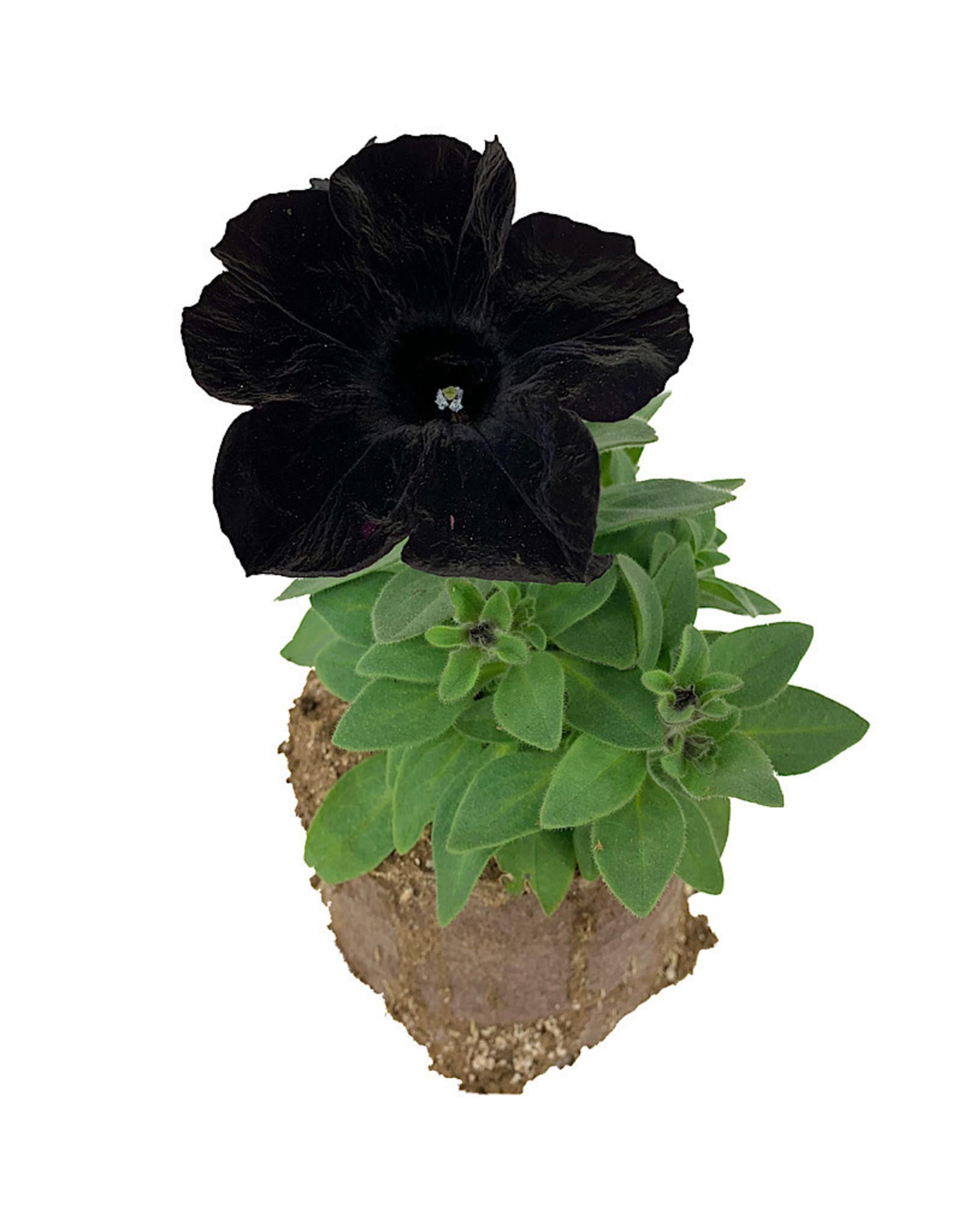 Petunia 'Crazytunia Black Mamba' 4 inch