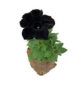 Petunia 'Crazytunia Black Mamba'- 4 inch
