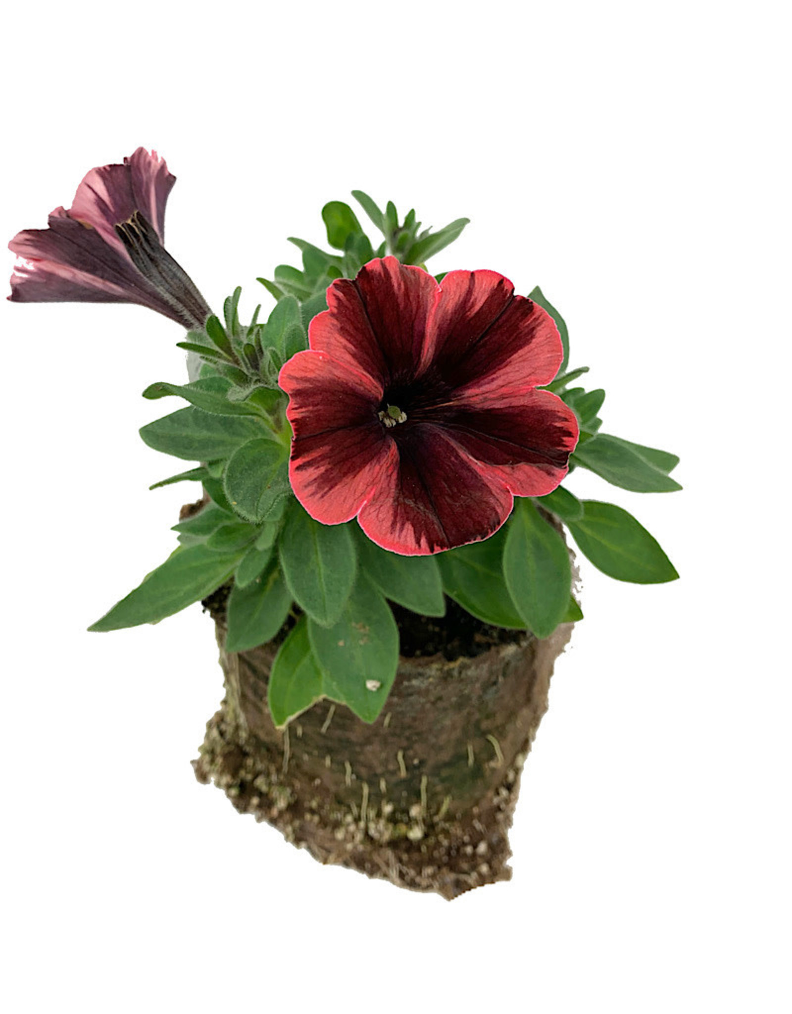 Petunia 'Sweetunia Fiona Flash' - 4 inch