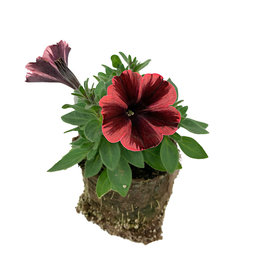 Petunia 'Sweetunia Fiona Flash' - 4 inch