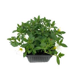 Calibrachoa 'Bright White' - 4 inch