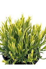 Lavandula angustifolia 'Platinum Blonde'