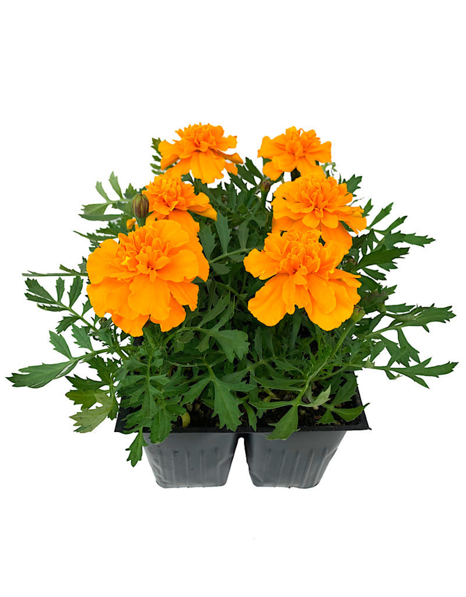 Marigold 'Bonanza Orange' Jumbo Traypack