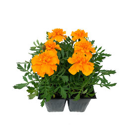 Marigold 'Bonanza Orange' - Jumbo Traypack