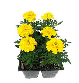 Marigold 'Bonanza Yellow' - Jumbo Traypack