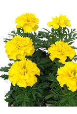 Marigold 'Bonanza Yellow'  Jumbo Traypack