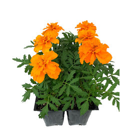 Marigold 'Safari Tangerine' - Jumbo Traypack