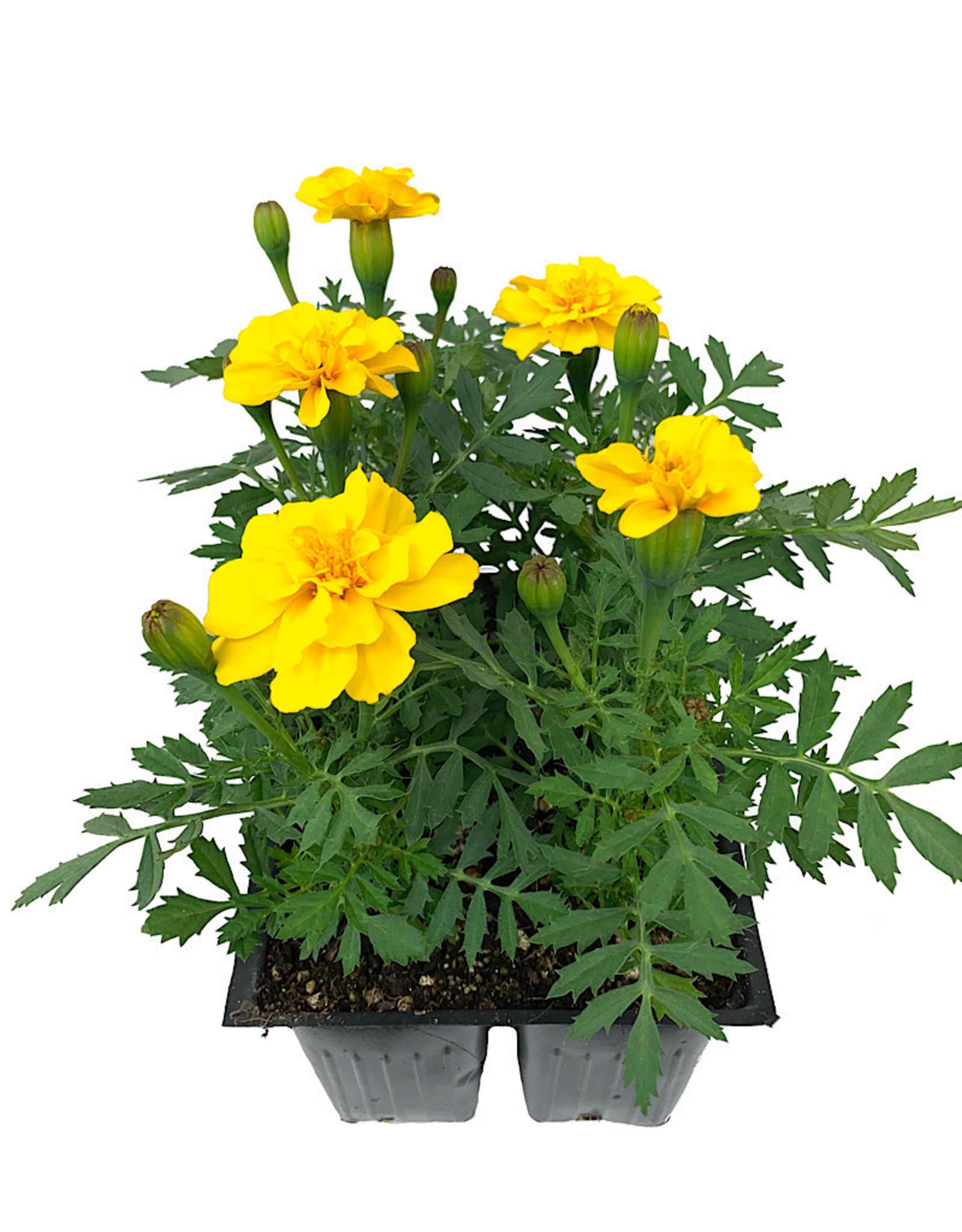 Marigold 'Safari Yellow' - Jumbo Traypack