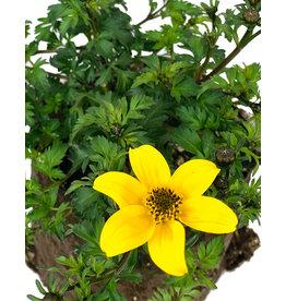 Biden 'Beedance Yellow' - 4 inch