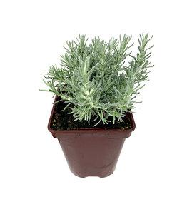 Helichrysum italicum 'Dwarf' - 4 inch