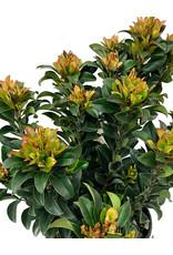 Rhaphiolepis umbellata 'Minor' - 1 gal