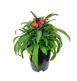 Erysimum 'Winter Orchid' 1 Gallon