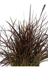 Pennisetum setaceum 'Rubrum' 1 Gallon